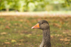 Grey Geese Closeup with Orange Bill Stock Photography