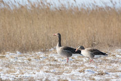 Grey Geese on the field Royalty Free Stock Image