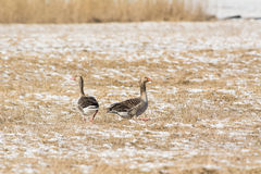 Grey Geese. Greylag Geese on the field in spring Royalty Free Stock Image