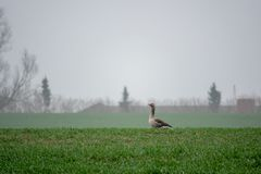 Grey geese resting on a green field stock photography