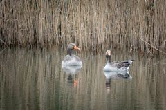 2 grey geese swimming on a lake stock photo