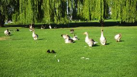 Grey geese on a lawn. Grey geese walking on a green lawn at the sunny summer day goose stock footage