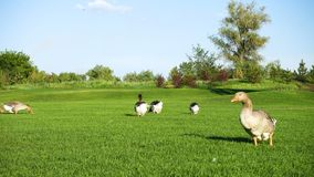 Grey geese on a lawn. Grey geese walking on a green lawn at the sunny summer day goose stock video footage
