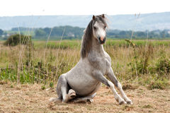 Grey gelding arises from a roll. Grey horse getting up from a roll on his back Royalty Free Stock Photo