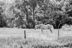 Grey Gelding, Black and White Stock Photos