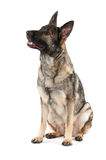 Grey german shepherd dog Royalty Free Stock Images