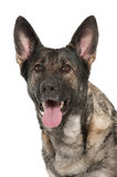 Grey german shepherd dog Stock Photo