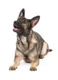 Grey german shepherd dog. A young german shephard dog of the gray variety Royalty Free Stock Photos