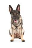 Grey german shepherd dog Stock Photography