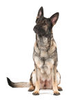 Grey german shepherd dog Royalty Free Stock Photo