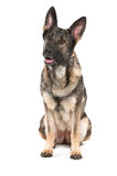 Grey german shepherd dog Stock Images