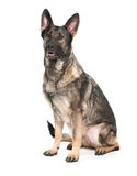 Grey german shepherd dog Stock Image