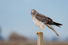 The grey ghost. This male northern harrier sits on its perch looking for its next meal Royalty Free Stock Photos