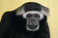 Grey gibbon Stock Photos