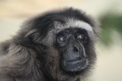 Grey gibbon. The detail of adult grey gibbon stock images