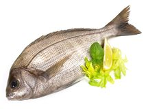Grey Gilthead Seabream. On white Background stock image