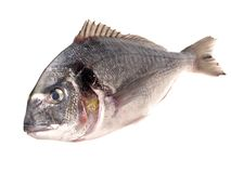Grey Gilthead Seabream. On white Background royalty free stock photo