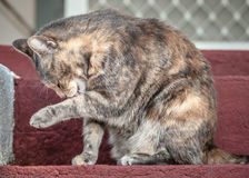 Grey and Ginger Tortoiseshell Tabby Cat Licking Herself Royalty Free Stock Image