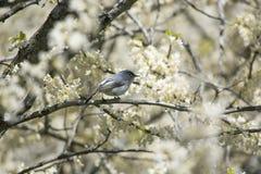 Grey Gnatcatcher bleu dans l'arbre de Redbud photographie stock libre de droits
