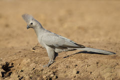 Grey Go-away Bird (Corythaixoides concolor) Botswana Stock Image