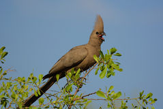 Grey go-away-bird (Corythaixoides concolor) Royalty Free Stock Photography