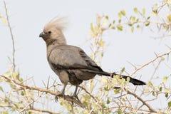 Grey Go-Away Bird en los árboles Imágenes de archivo libres de regalías