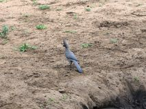 Grey go away bird in Kruger National Park Royalty Free Stock Photo