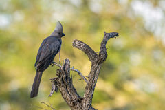 Grey go-away bird in Kruger National park, South Africa Royalty Free Stock Photo