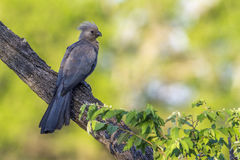 Grey go-away bird in Kruger National park, South Africa Stock Photos