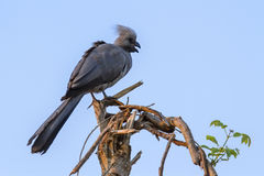 Grey go-away bird in Kruger National park Stock Photo