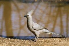 Grey go-away bird in Kruger National park Royalty Free Stock Photos