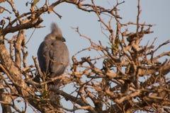 Grey Go-Away-Bird se encaramó en la parte superior de árbol Fotografía de archivo