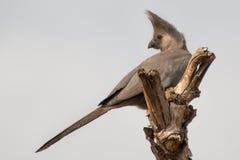Grey Go-Away-Bird se encaramó en la parte superior de árbol Imagen de archivo libre de regalías