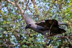 Grey Go Away Bird Royalty Free Stock Images