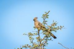Grey go-away-bird in a tree. Stock Photography