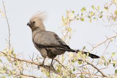 Grey Go-Away Bird in the trees. Royalty Free Stock Images