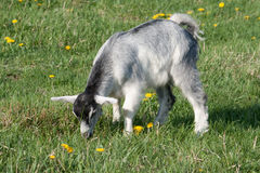 Grey goat Stock Photography