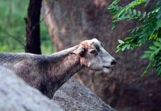 Grey goat Royalty Free Stock Photo