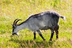 Grey goat Royalty Free Stock Image