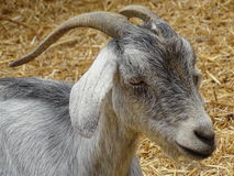 Grey goat Stock Photo