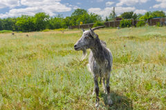 Grey goat on a summer pasture Royalty Free Stock Photo