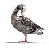 Grey Goose Royalty Free Stock Image