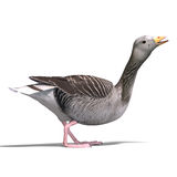 Grey goose Stock Images