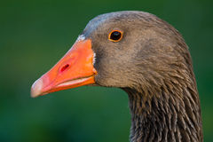 Grey goose. Portrait of a grey gosse from a Portuguese farm Royalty Free Stock Photos