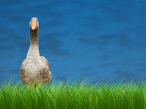 The grey goose Royalty Free Stock Photography
