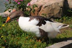 Grey Goose (Anser anser) Royalty Free Stock Image