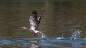 Grey Goose (Anser anser). Taking off from green water Stock Images