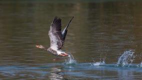 Grey Goose (anser do Anser) Imagens de Stock