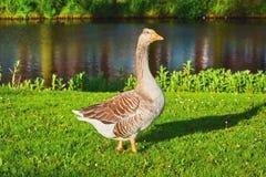 Grey Goose auf dem Gras Lizenzfreies Stockfoto