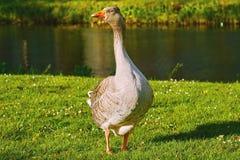 Grey Goose auf dem Gras Lizenzfreie Stockfotos